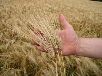 wheat-1193472